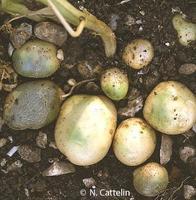 Potato greening-NK-650