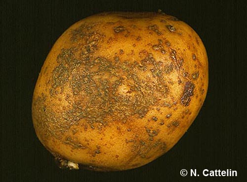 Potato tuber blemishes: understanding & diagnosis - Skin spot